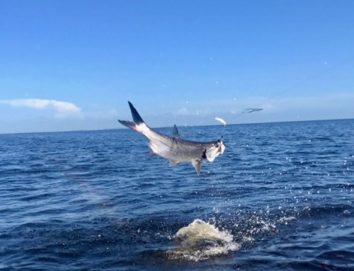 Team Accurate visits the Tarpon of the Boca Grande Pass in Florida